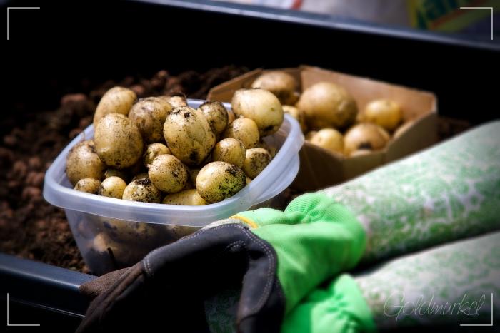 Kartoffeln_2