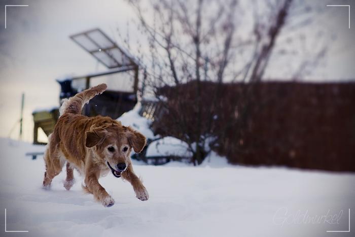 Golden Retriever rennt durch Schnee