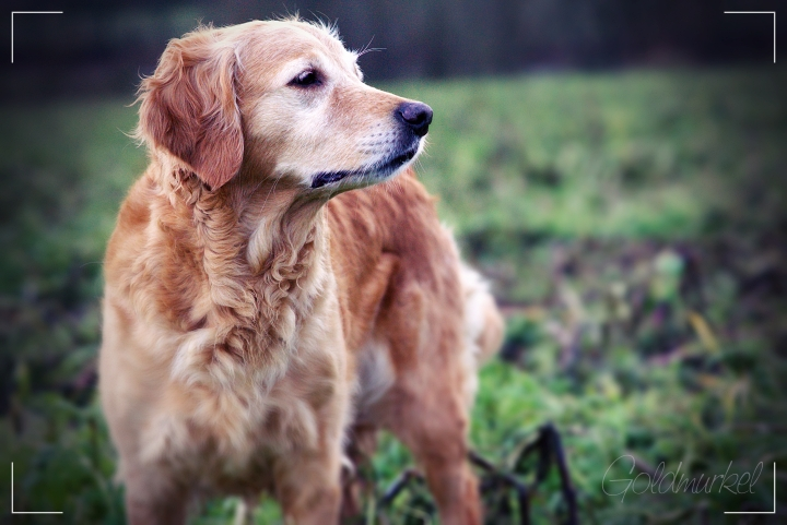Golden Retriever auf einem Feld