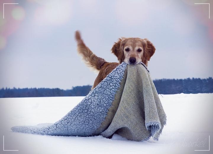 Golden Retriever mit Decke im Schnee
