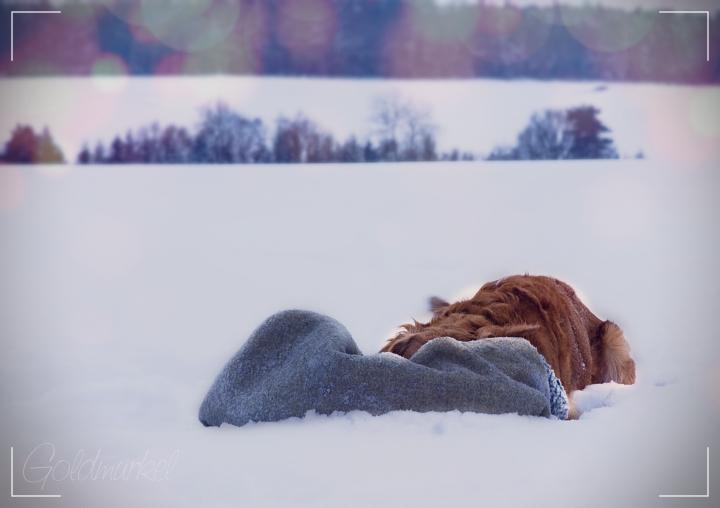 Golden Retriever im Schnee spielt mit einer Decke