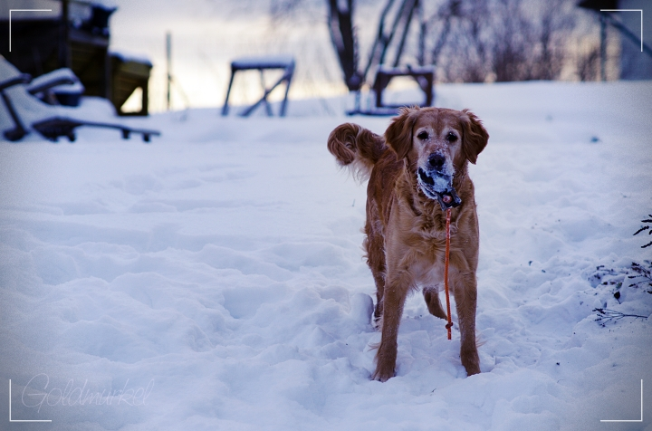 Rolden Retriever im Schnee mit Ball im Maul